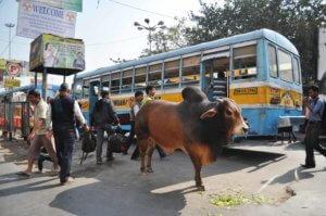 Du monde, des bus, ...et des vaches !